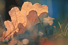Dębowi leafes przy jesień lasem Zdjęcie Royalty Free