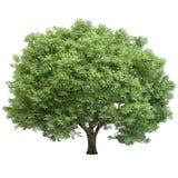 Dębowy drzewo Odizolowywający Obraz Royalty Free