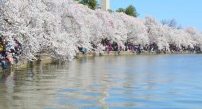 DC Вашингтона, Колумбия, США - 11-ое апреля 2015: Вишневые деревья полностью зацветают и памятник Вашингтона Стоковая Фотография RF