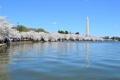 DC Вашингтона, Колумбия, США - 11-ое апреля 2015: Вишневые деревья полностью зацветают и памятник Вашингтона Стоковое Фото