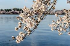 DC cherry blossoms. Japanese cherry blossoms budding around the Washington DC tidal basin Royalty Free Stock Photography