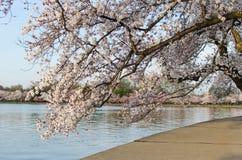 DC cherry blossoms. Japanese cherry blossoms budding around the Washington DC tidal basin Stock Photography