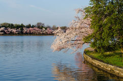 DC cherry blossoms Royalty Free Stock Images