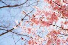 Dc-medborgare Cherry Blossom Festival arkivfoto