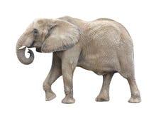 Découpage d'éléphant africain Photo stock