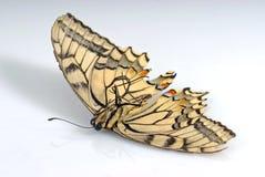 död fjäril Arkivbilder