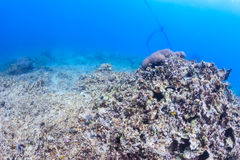 död korall Arkivfoton