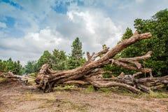 Döda stora träd Arkivfoto
