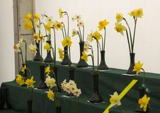 A daffodil bloom display stand in the Junior School section of the annual Spring Festival held in Barnett`s Demesne Belfast N. Ddaffodi flowerson display in the royalty free stock images