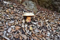 Ddevil`s bolete, Boletus satanas mushroom. Is growing in the forest in Mallorca, Spain royalty free stock photography