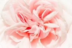 de有历史的la malmaison玫瑰色纪念品 免版税图库摄影