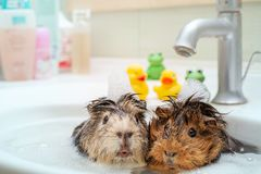 De älskar för att simma tillsammans royaltyfri bild