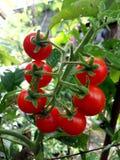De är inte druvor, utan frukt för sju tomater royaltyfri bild