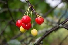 ¡ De Ð herry après pluie dans un jardin de pays Photographie stock libre de droits
