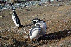¡ De Ð olony de pinguins de Magellanic imagens de stock