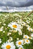 ¡De Ð que daña las margaritas blancas en un prado Imagen de archivo