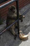 De övermätta halv-lösa Barbary macaquesna, Gibraltar, Europa Royaltyfria Bilder