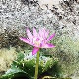 De ?alleen maar niet eenzame ?lotusbloem zei niet blijkbaar stock foto's