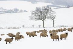χιονώδης στάση προβάτων πε&de Στοκ φωτογραφίες με δικαίωμα ελεύθερης χρήσης