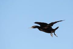 De aalscholver van de kaap (phalacrocorax capensis) Stock Foto's