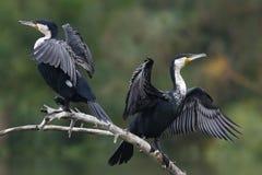 De aalscholvers drogen hun vleugels royalty-vrije stock afbeeldingen