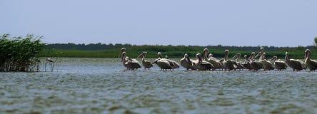 De aalscholvers en de pelikanen vissen en rusten in de Reserve van Donau in de Zwarte Zee dichtbij het riet stock foto