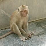 de aanbiddelijke aap, hoop en wacht stock foto