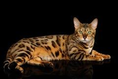 De aanbiddelijke die Kat van rassenbengalen op Zwarte Achtergrond wordt geïsoleerd stock foto