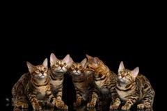 De aanbiddelijke die katjes van rassenbengalen op Zwarte Achtergrond worden geïsoleerd royalty-vrije stock fotografie