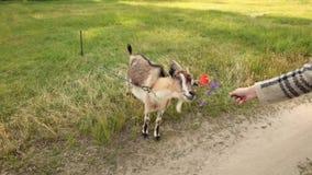 De aanbiddelijke geit eet wildflowers van vrouwen` s handen stock video