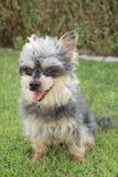 De aanbiddelijke Kleine Hond van Yorkie stock foto