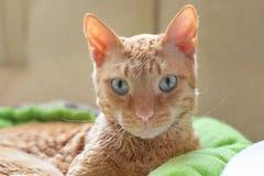 De aanbiddelijke krullende kat Ural Rex ligt op het bed voor het venster en bekijkt groene ogen de camera royalty-vrije stock fotografie