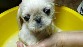 De aanbiddelijke leuke jonge puppy witte Pekinees neemt een bad in zeepachtig zeepsop stock videobeelden