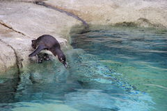 De aanbiddelijke Pinguïn, die klaar om voor te gaan zwemt worden Royalty-vrije Stock Foto
