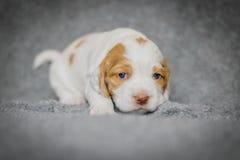 De aanbiddelijke puppy van de 4 weken oude cocker-spaniël Royalty-vrije Stock Foto's