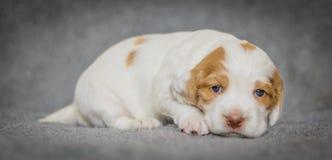 De aanbiddelijke puppy van de 4 weken oude cocker-spaniël Royalty-vrije Stock Foto