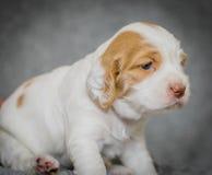 De aanbiddelijke puppy van de 4 weken oude cocker-spaniël Stock Foto's