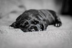 De aanbiddelijke puppy van de 4 weken oude cocker-spaniël Royalty-vrije Stock Afbeelding