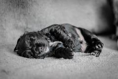 De aanbiddelijke puppy van de 4 weken oude cocker-spaniël Stock Afbeelding