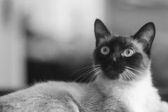 De aanbiddelijke Siamese Kat van het Verbindingspunt Royalty-vrije Stock Fotografie