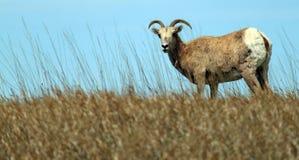 De Aandacht van Bighorn royalty-vrije stock foto