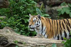 De aandacht van de tijger stock foto's