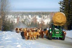 De aandrijving van het vee stock afbeeldingen