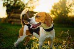 De aangestoken achtergrond van het hondportret terug Brak met tong uit in gras tijdens zonsondergang op gebieden stock afbeeldingen
