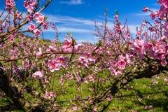 De aankomst van de lente in het tot bloei komen van perzikbomen behandelde w royalty-vrije stock afbeelding