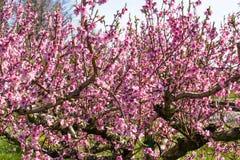 De aankomst van de lente in het tot bloei komen van perzikbomen behandelde w royalty-vrije stock afbeeldingen