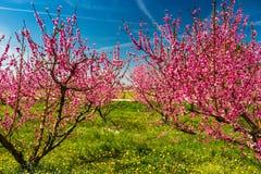 De aankomst van de lente in het tot bloei komen van perzikbomen behandelde w royalty-vrije stock fotografie