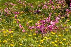 De aankomst van de lente in het tot bloei komen van perzikbomen behandelde w stock foto's