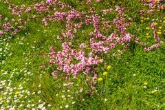 De aankomst van de lente in het tot bloei komen van perzikbomen behandelde w stock foto