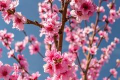 De aankomst van de lente in het tot bloei komen van perzikbomen behandelde w stock fotografie